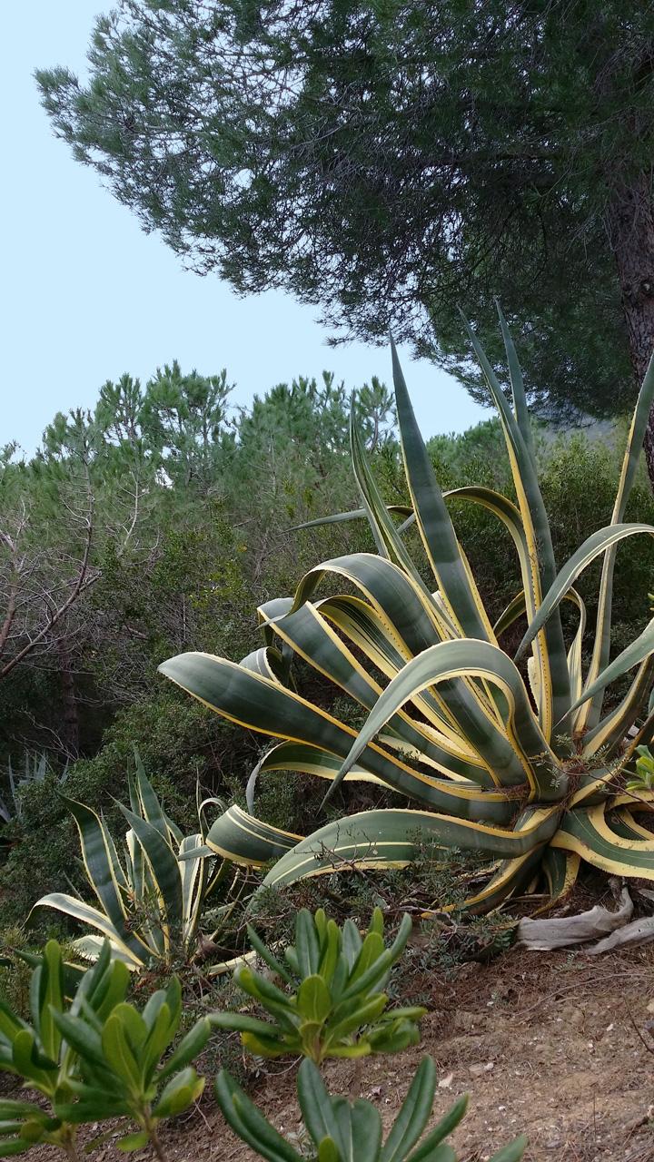 Il paesaggio: agave