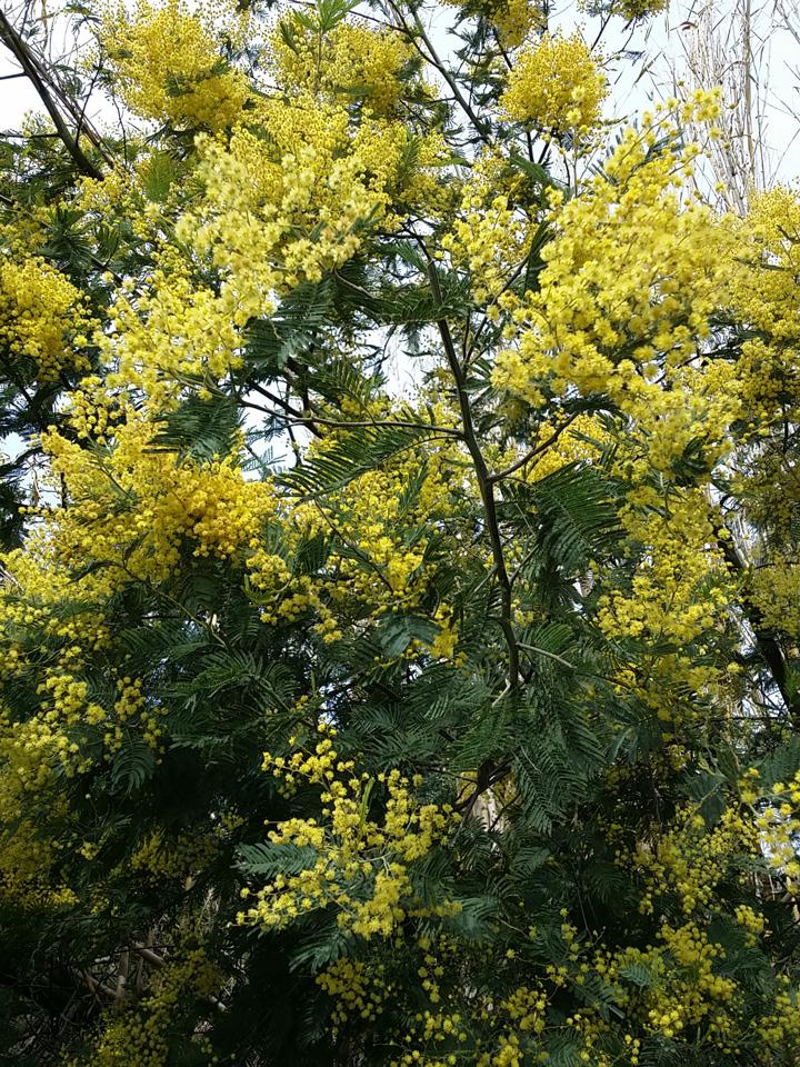 Il paesaggio: mimosa spontanea