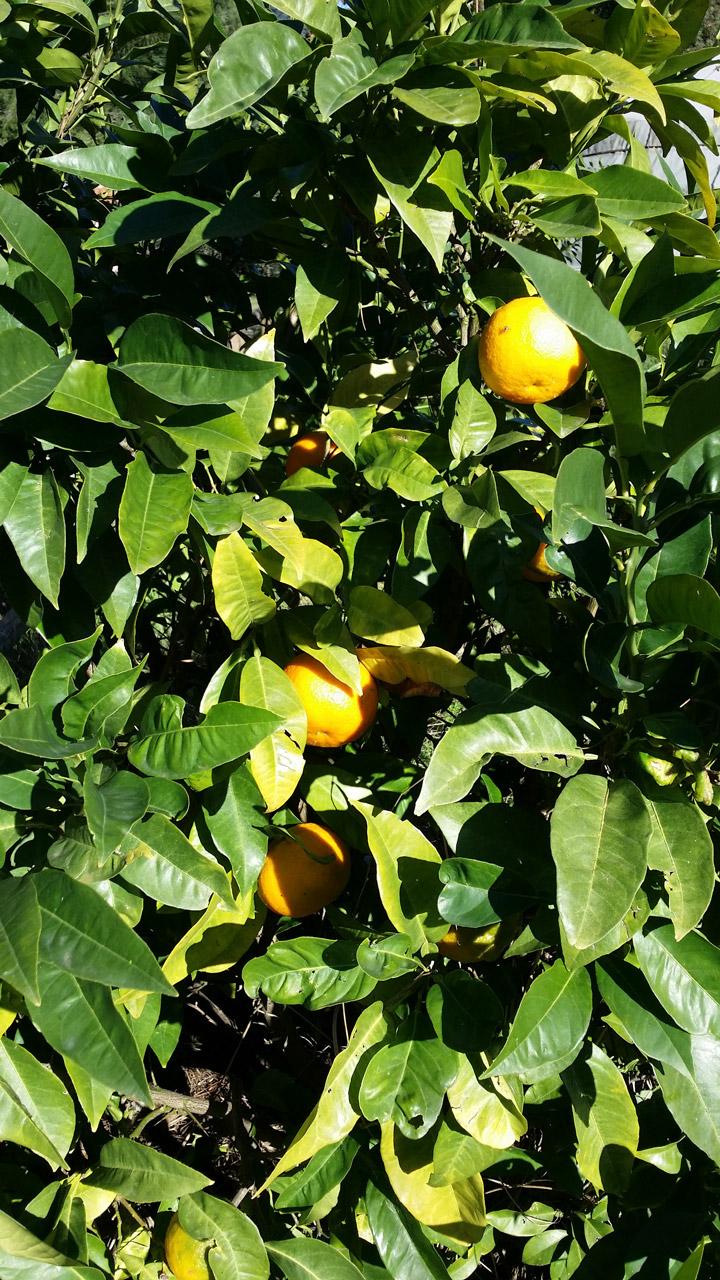 La tenuta: limoni